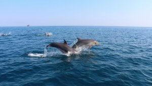 Дельфины Крымского моста